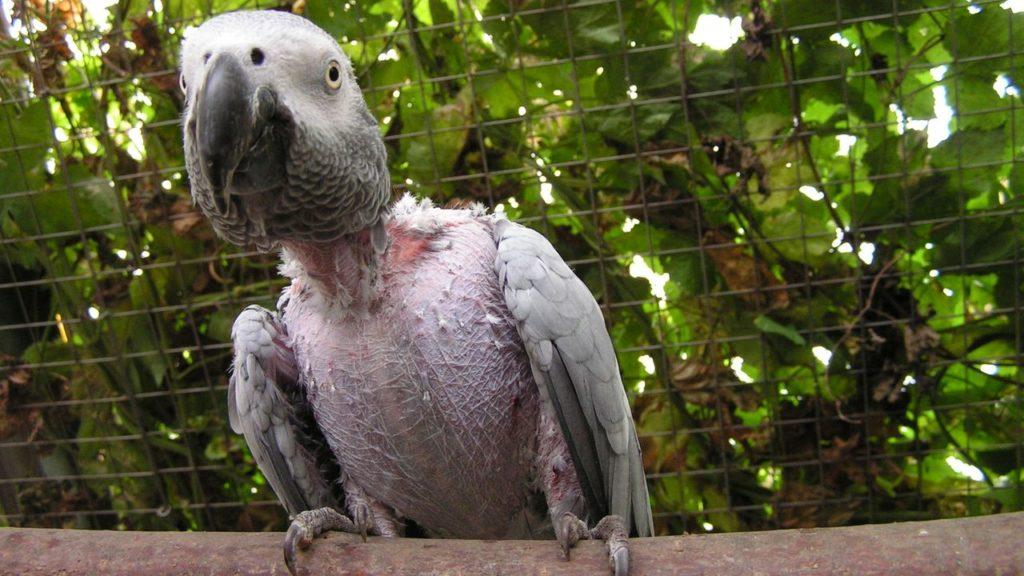 Hier muss eingegriffen werden: verhaltensgestörte Papageien