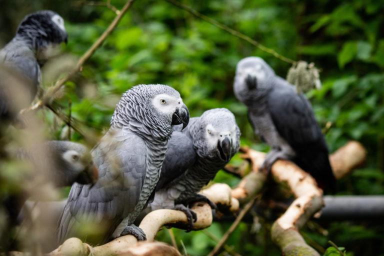 Kongo-Graupapageien