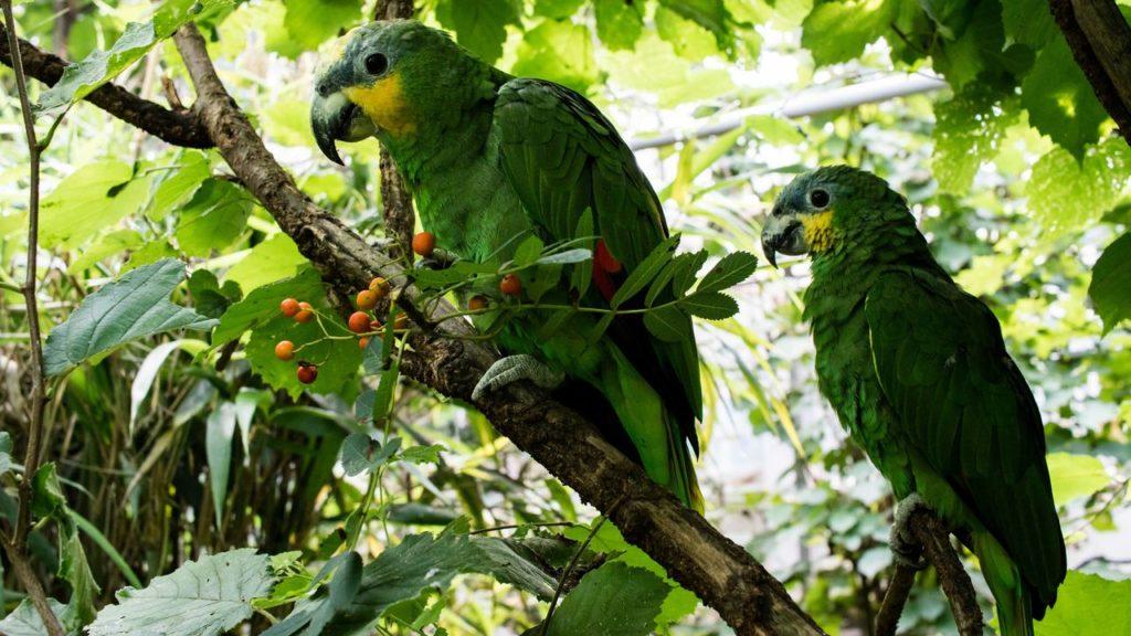 Venezuela-Amazonen