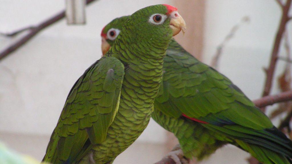 Tucuman-Amazonen