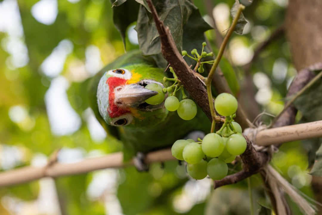 Mara bei der Weintraubenernte