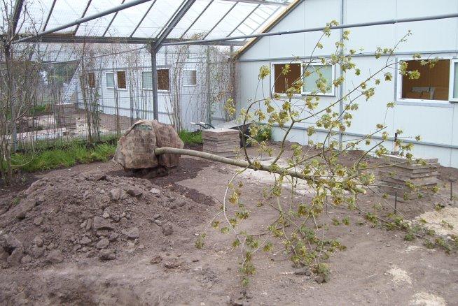 Ahornbäume für die Bepflanzung der Flughallen