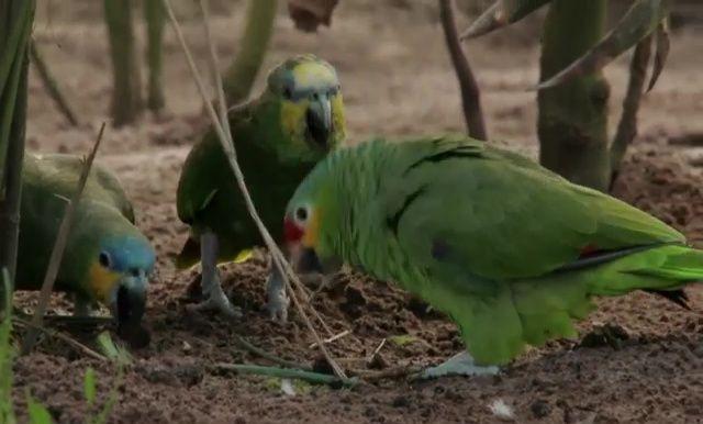 Amazonas-Papageien auf dem Erdboden