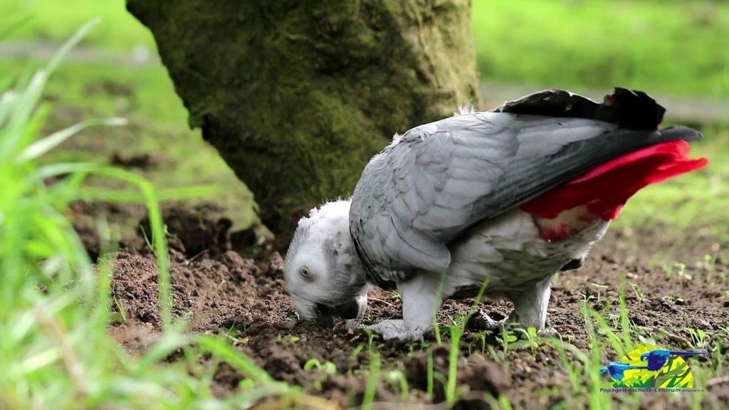Erdboden - wichtig für Papageien