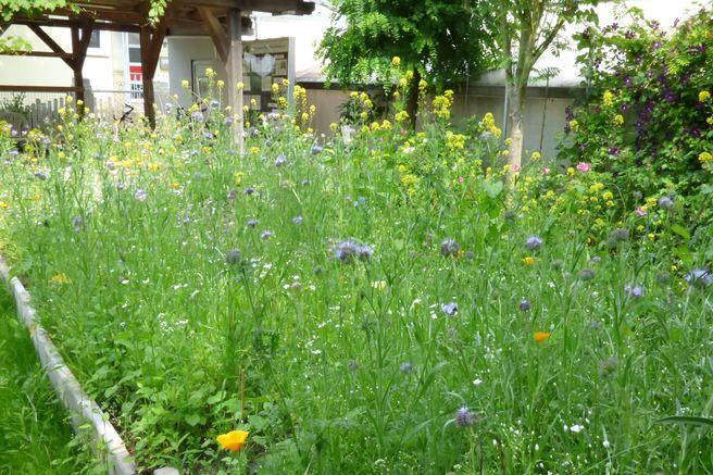 Sommer 2015: Die Blumenwiese hat sich prächtig entwickelt.