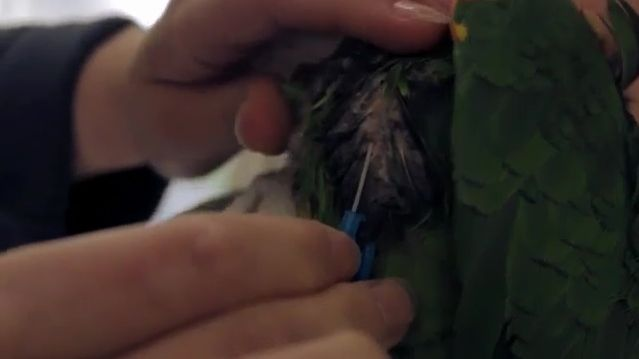 Punktion geschädigter Luftsäcke mit Venen-Verweilkanüle