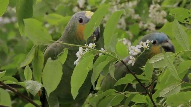 Blüten der Wildkirsche