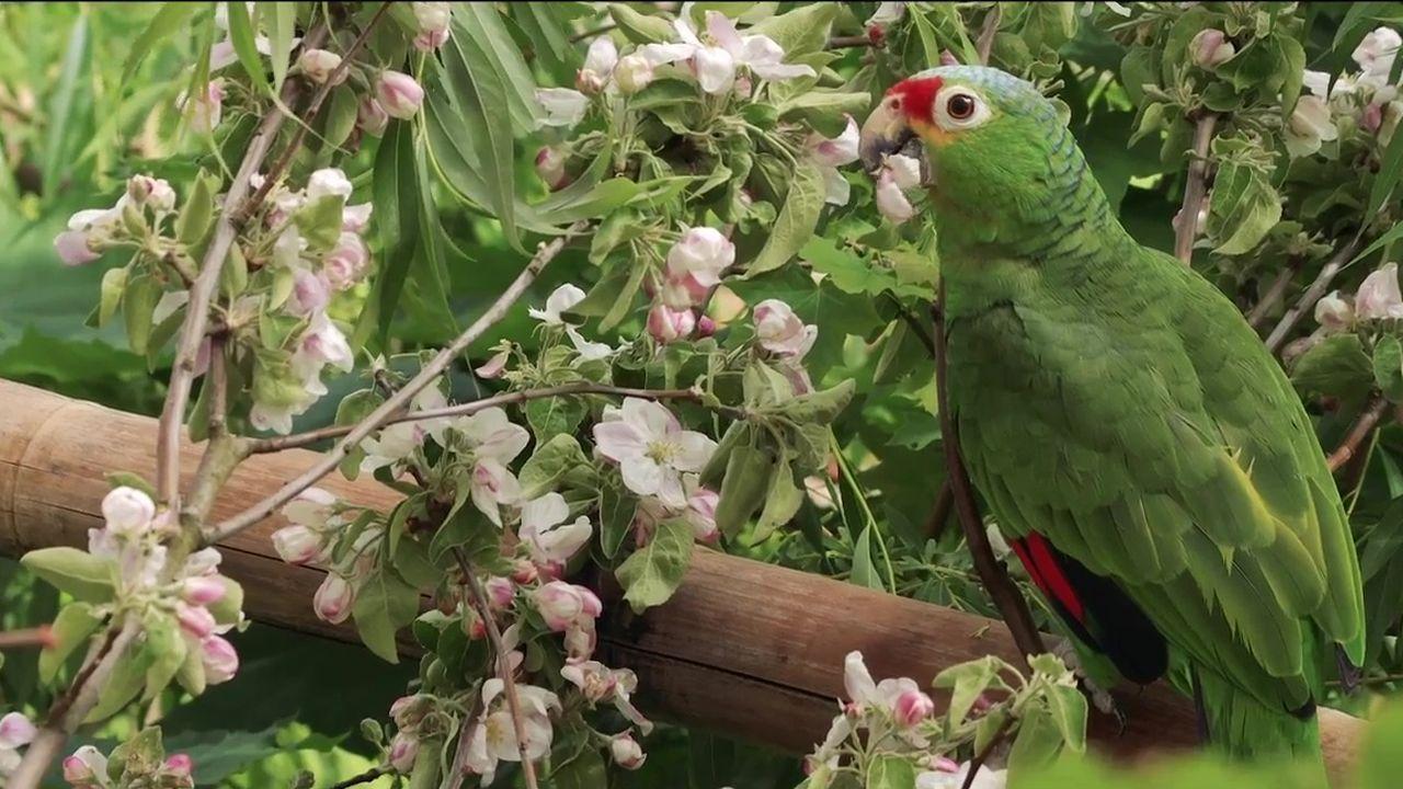 Apfelblüten für Amazona-Papageien
