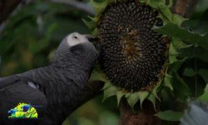 Sonnenblumen für die Papageien