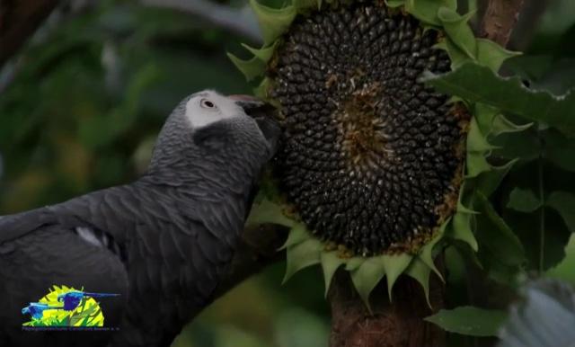 Sonnenblume für die Papageien