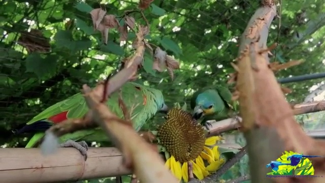 Sonnenblumenernte auf Papageienart