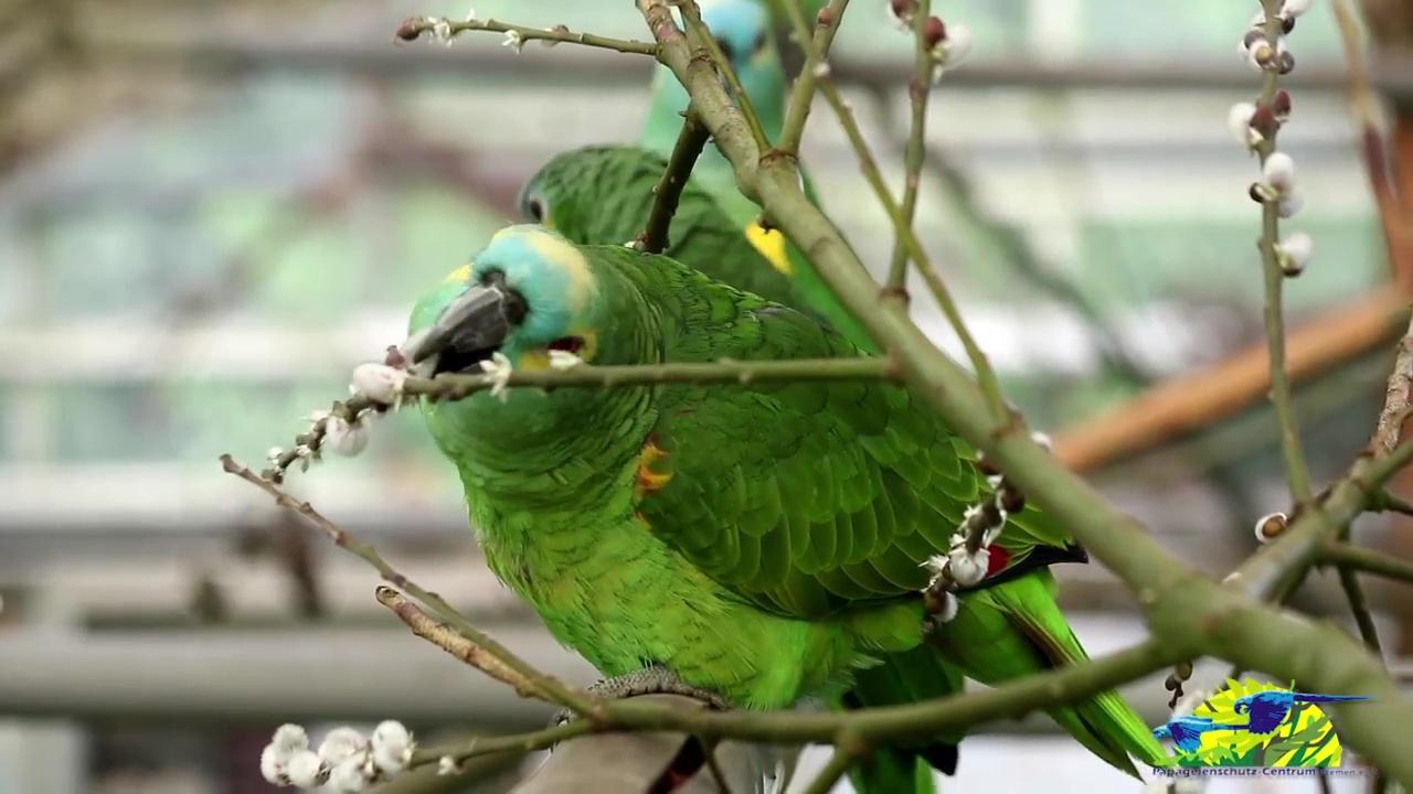 Weidenkätzchen für die Amazona-Papageien