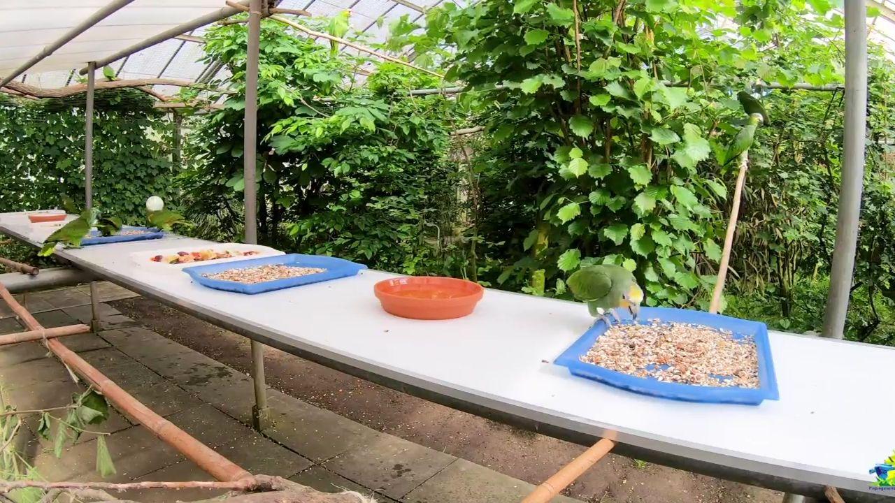 Fütterung der Amazona-Papageien