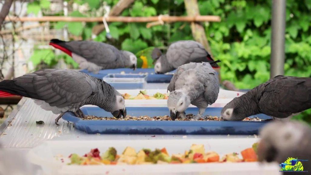 Fütterung der Graupapageien