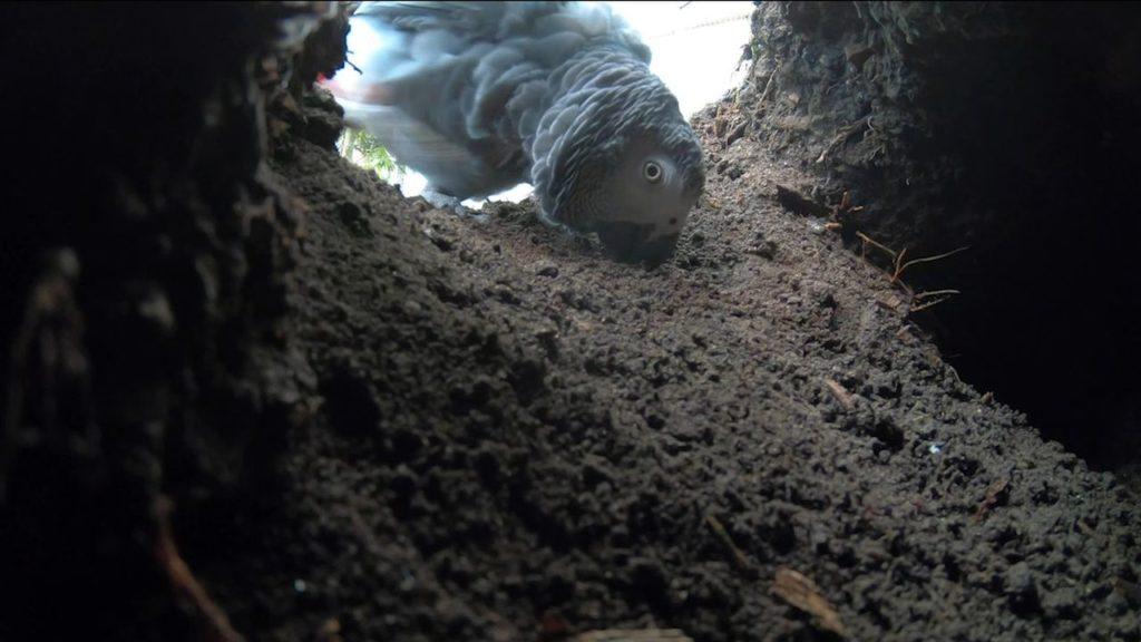 Graupapagei 'Kongo' in der Erdhöhle